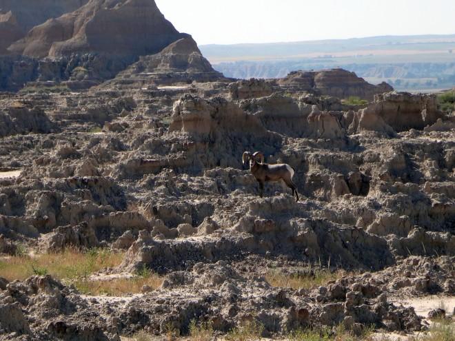 Bighorn_sheep2